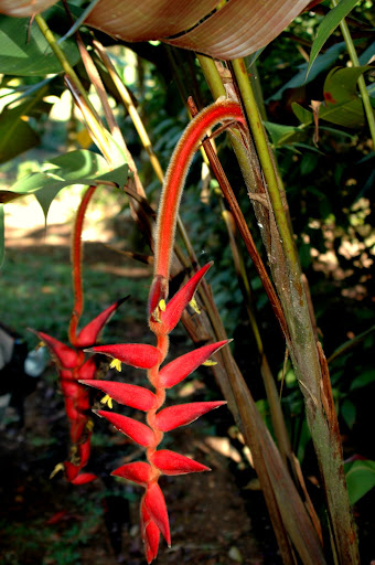 HELICONIA VELLERIGERA Wooly cinamon hares on stem and other areas