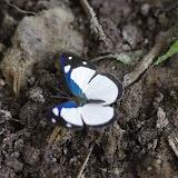 Dynamine athemon maeon (E. Doubleday, 1849). Cupiagua, 720 m (Casanare, Colombie), 5 novembre 2015. Photo : J.-M. Gayman
