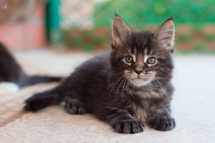 фото котят мейн кунов в 1 месяц