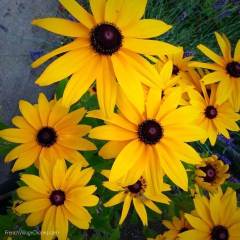 French Village Diaries Yellow July #TDF2017 rudbeckias