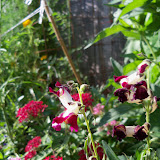 Gardening 2010, Part Three - 101_3940.JPG
