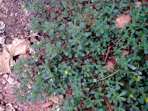 semizotu bitkisi genel yapısı