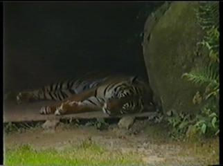 2001.08.26-003 tigre de Sumatra