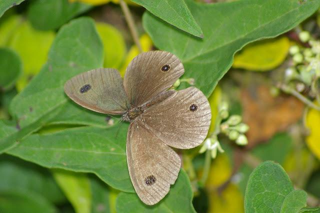 Ypthyma multistriata BUTLER, 1883 (?) (2500 m). Baisha (Nord de Lijiang, Yunnan), 19 août 2010. Photo : J.-M. Gayman