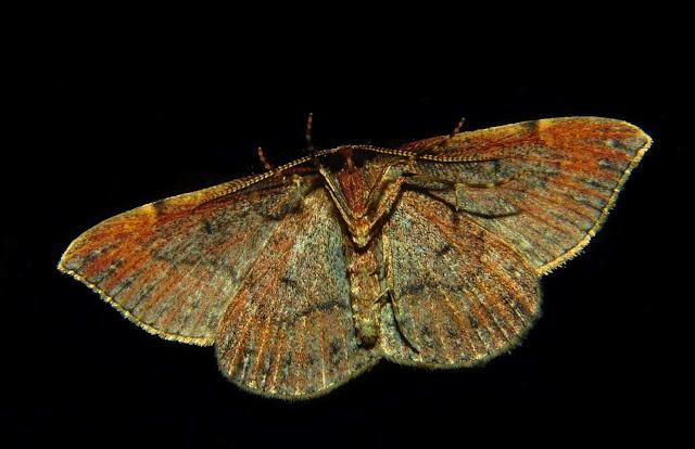 Geometridae : Oenochrominae : Nearcha curtaria GUÉNÉE, 1857 (probablement), verso. Umina Beach (NSW, Australie), 17 octobre 2011. Photo : Barbara Kedzierski