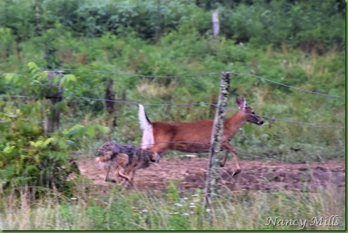 D2018-07-11 41 - Cades Cove Walk -  The Chase is ON