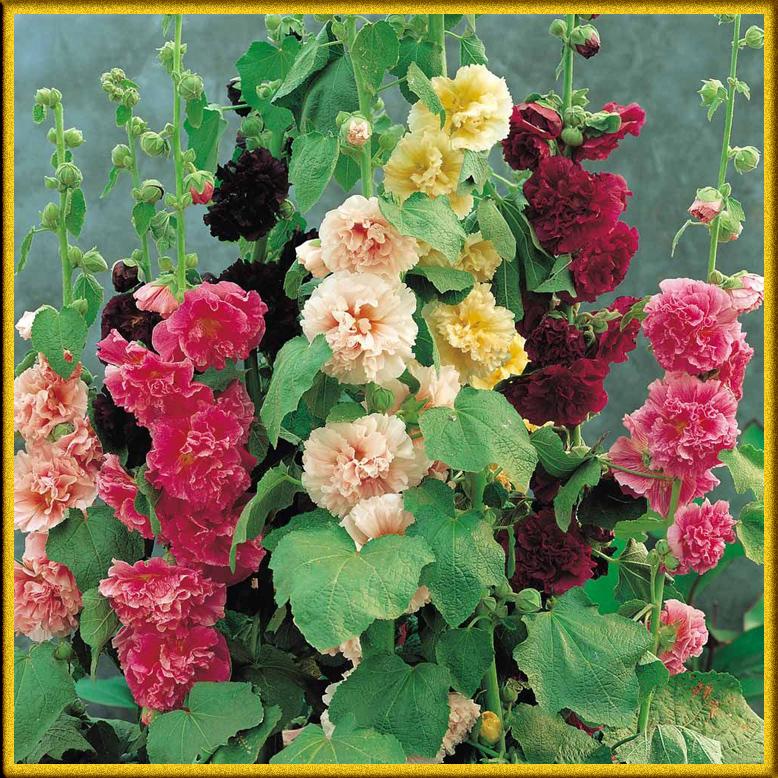 Hoa mãn đỉnh hồng kép