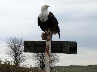 DSCF0564 Bald Eagle at Eagle Heights