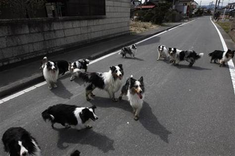 Sheltie Rescue Japan Picks Up 19 Dogs from Exclusion Zone