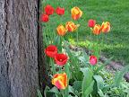 Tulips on S. Fitzhugh