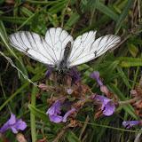 Aporia crataegi tianshanica RÜHL, 1893 (1900 m). Kekemeren, 30 juin 2006. Photo : J. Michel