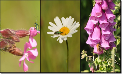 Swollen-thighed Beetle on Red Campion and and Oxeye Daisy and Buff-tailed Bumble bee on Foxglove