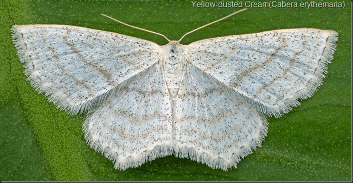 Yellow-dusted-Cream (Cabera erythemaria)
