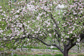 Apricot blossom in Hunza Valley, Gilgit-Baltistan