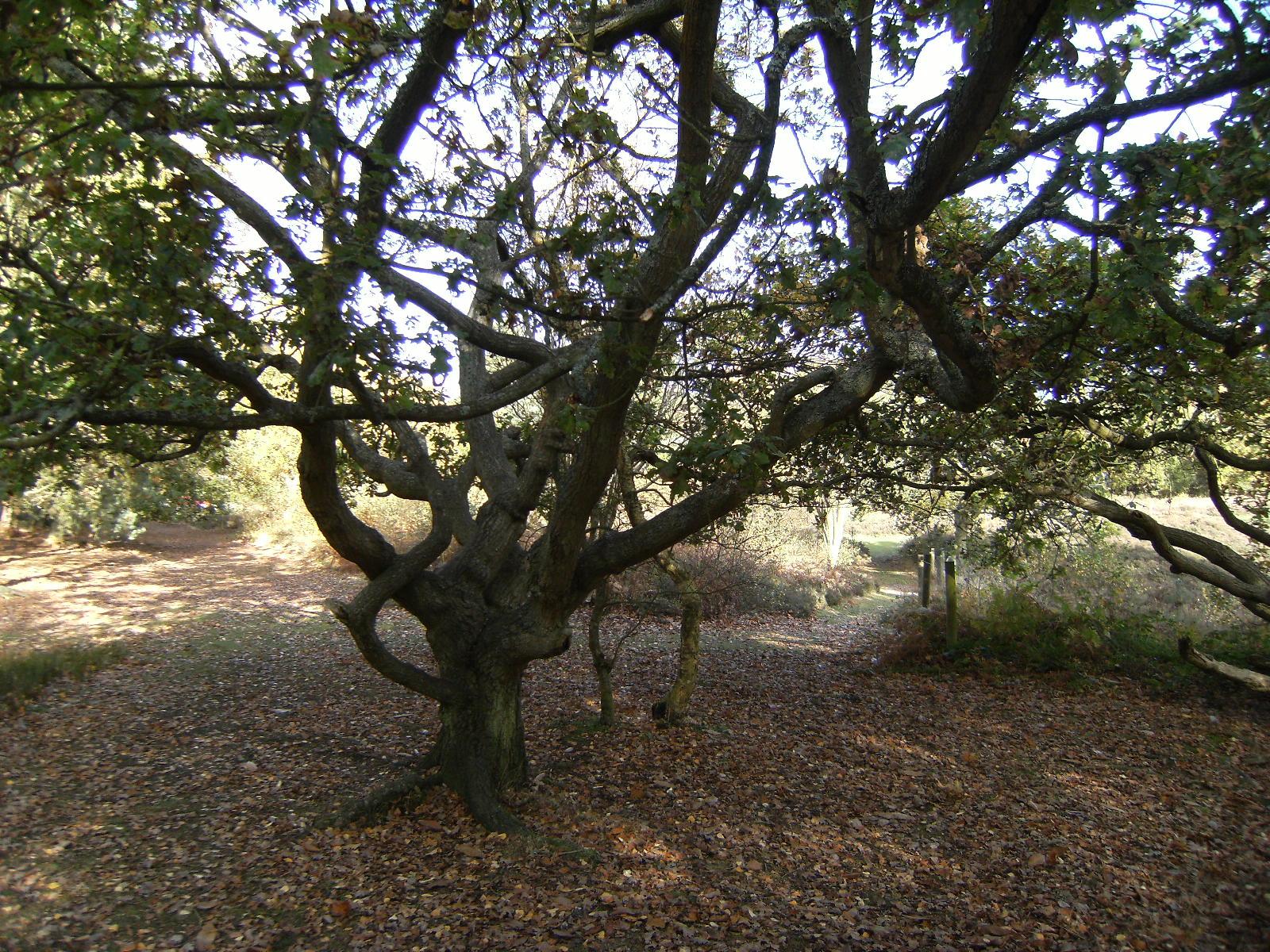 DSCF2351 Gnarled tree on Finchampstead Ridges