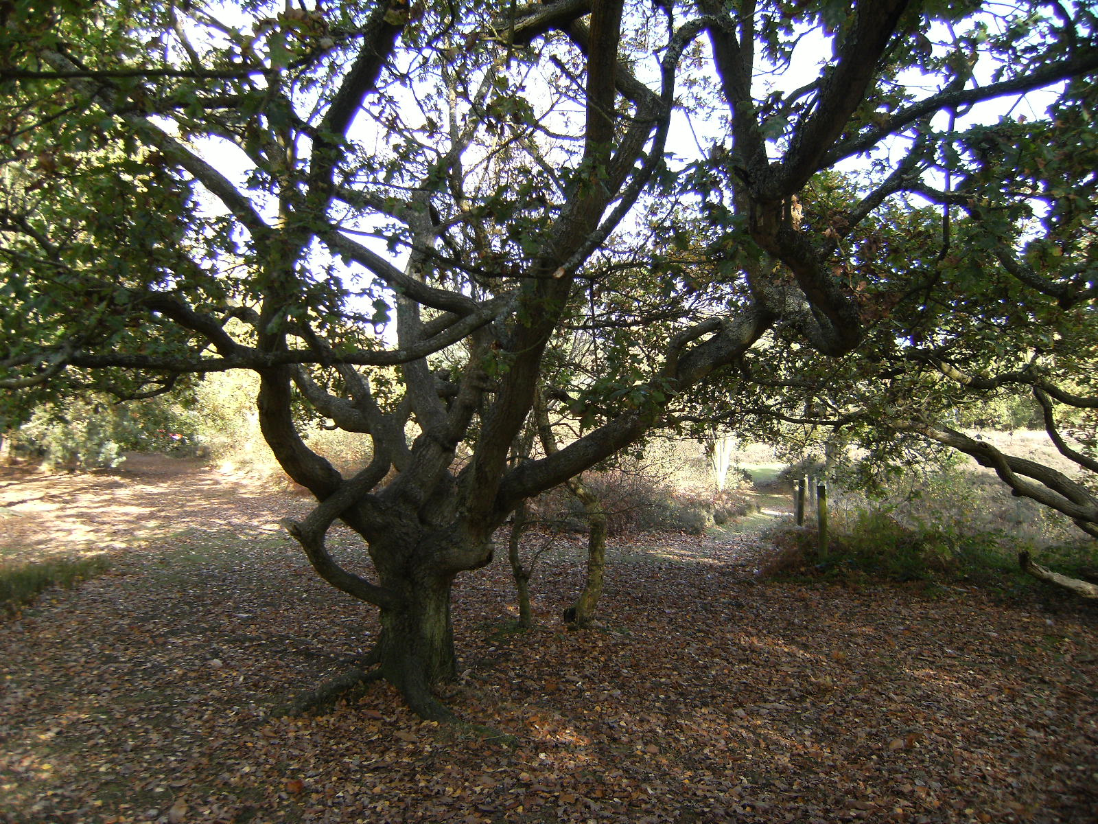 DSCF2351 Gnarled tree on Finchampstead Ridges