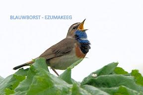blauwborst - Ezumakeeg Lauwersmeer (16).jpg