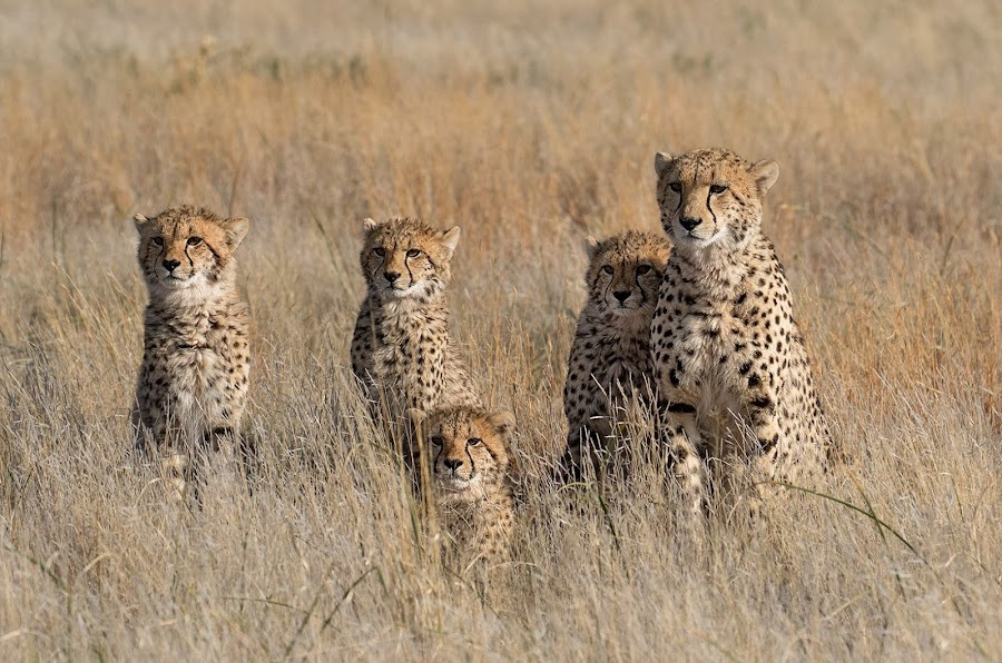 The Family by Buddy Eleazer - Animals Lions, Tigers & Big Cats