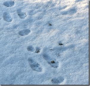 Snowshoe hare prints