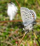 Bølleblåfugl3.jpg