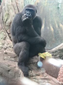 2017.08.26-046 gorille