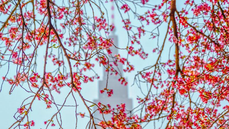 新宿御苑 カンザクラ(寒桜)