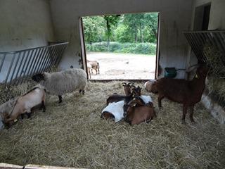 2016.05.24-044 moutons d'Ouessant, chèvres du Sénégal et moutons du Suffolk