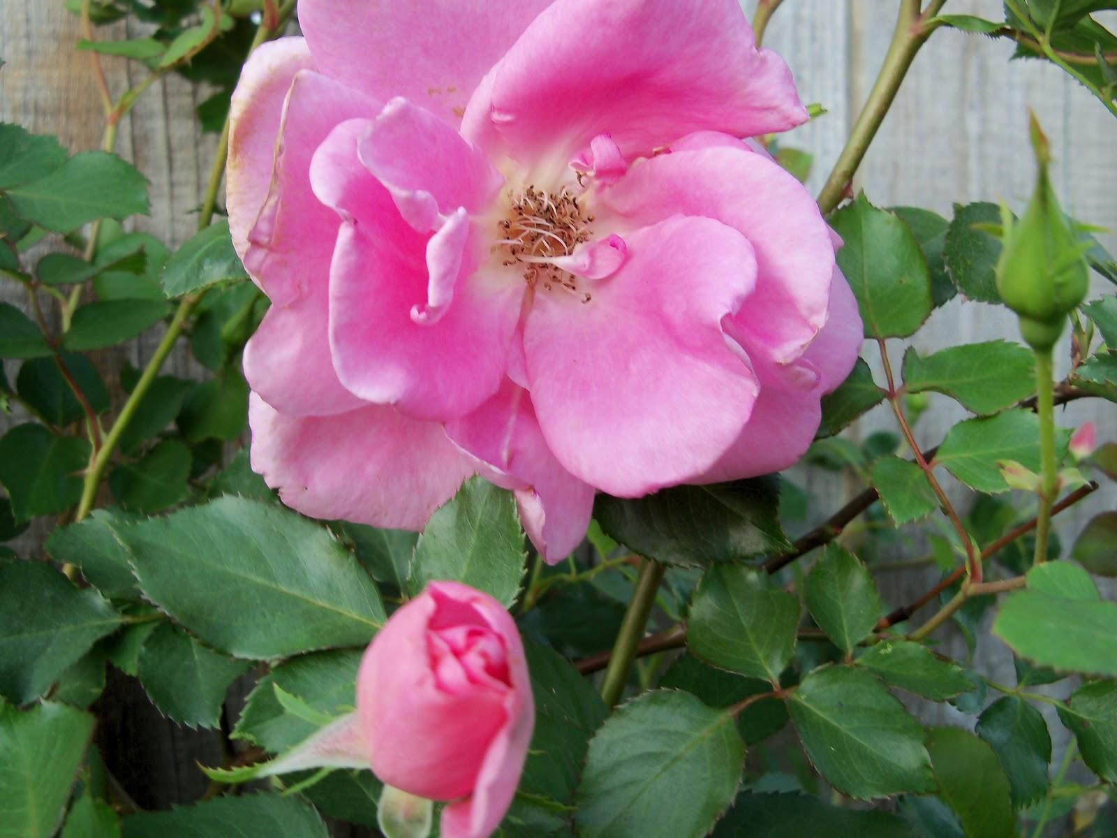 Gardening 2011 - 100_7118.JPG