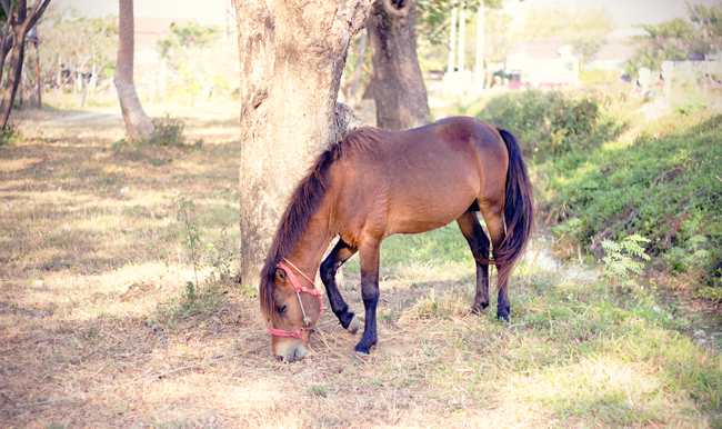 Thai Pony grazing in a field in Chiang Mai, Thailand | Lavender & Twill