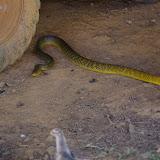 """Colubridae : Drymarchon corais corais (BOIE, 1827), """"serpent chasseur"""". Saül, 17 novembre 2012. Photo : J.-M. Gayman"""