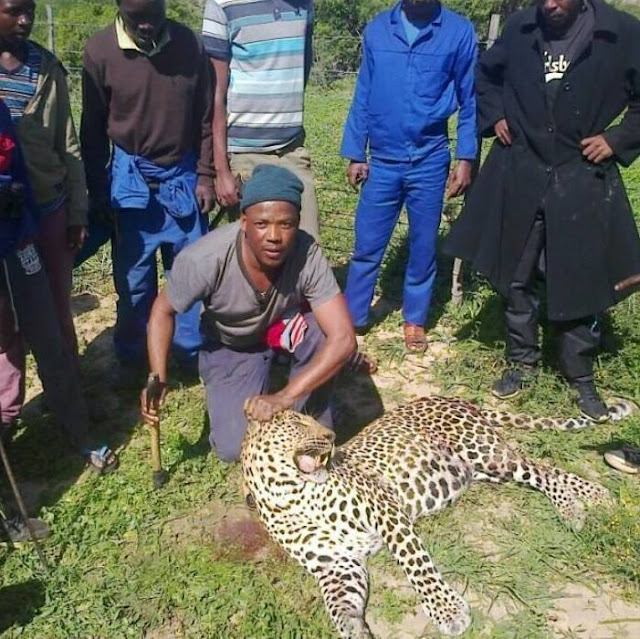 Angry Villagers Trap And Kill Leopard After Tormenting Them In Their Communit (Photos)