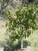 Proposicion de inversion: Invierte tu planta de mango, has del mundo una frutería y crecerá tu bolsillo de forma pasiva