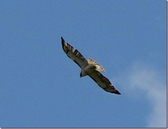 ospreyIMG_0472