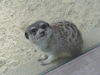2016.09.02-042 suricate