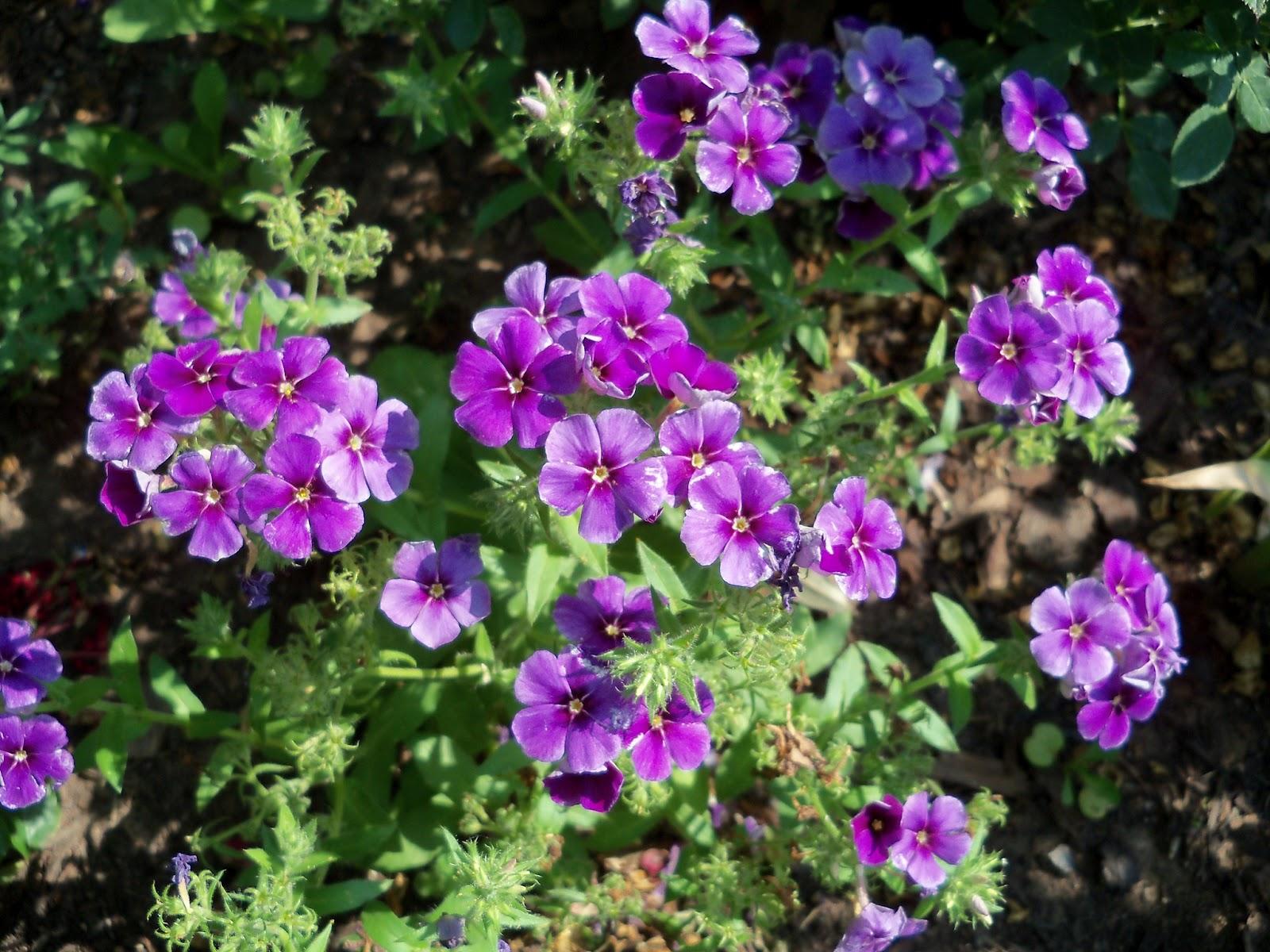 Gardening 2011 - 100_7886.JPG