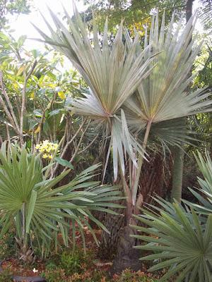 Jual Palem Bismarkia Silver | Pohon Bismarkia Murah