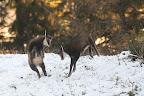 L'ESQUIVE  Chevreaux de l'année qui s'amusent dans le premières neiges de l'année