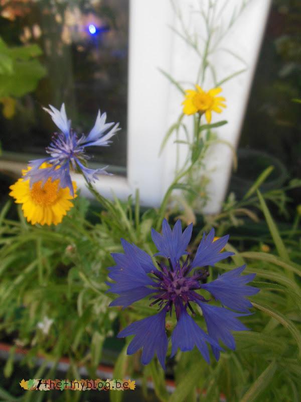 My balcony urban vegetable garden June 2015 in Brussels Wildflowers