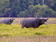 wildlife-water-buffalo-13.jpg