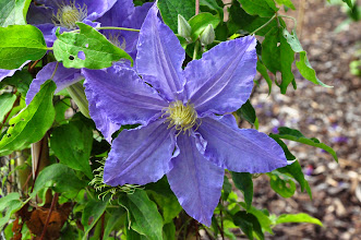 Photo: Clematis 'Beata'