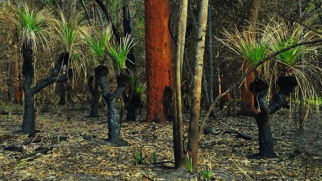 Le bush (avec Xanthorrea, Xanthorrhoeaceae, originaires d'Australie) début novembre après l'incendie de septembre. Pearl Beach (New South Wales, Australie), 2 novembre 2011. Photo : Barbara Kedzierski
