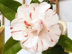 白色地 濃紅色縦絞り 八重 蓮華咲き 割りしべ 中〜大輪