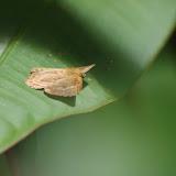 Riodinidae : Synargis orestessa HÜBNER, [1819], femelle. Patawa (Montagne de Kaw), 24 octobre 2012. Photo : J.-M. Gayman