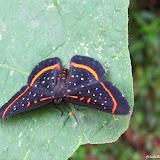 Amarynthis meneria (CRAMER, 1776). Colider (Mato Grosso, Brésil), 28 avril 2012. Photo : Cidinha Rissi