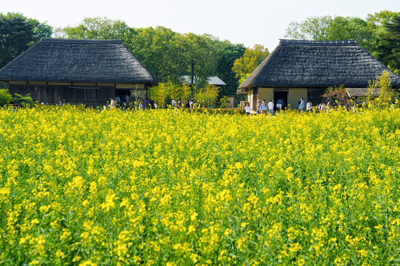 Hitachi Seaside Park rape blossoms photo1