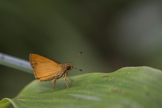 Vinius tryhana tryhana (Kaye, 1914). Bosque Bavaria (Villavicencio, Meta, Colombie), 9 novembre 2015. Photo : B. Lalanne-Cassou