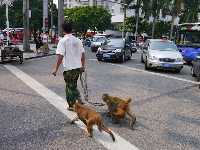 three leashed monkeys crossing a road in Zhuhai