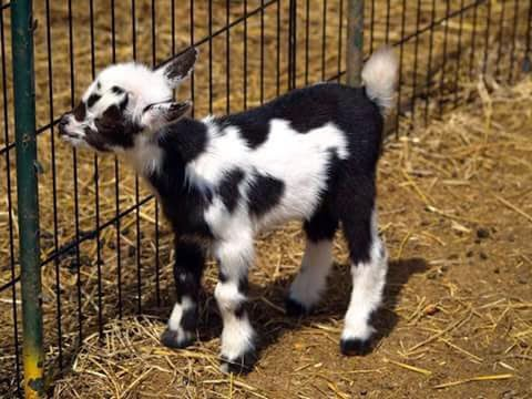 Baby Goat Sweet Images