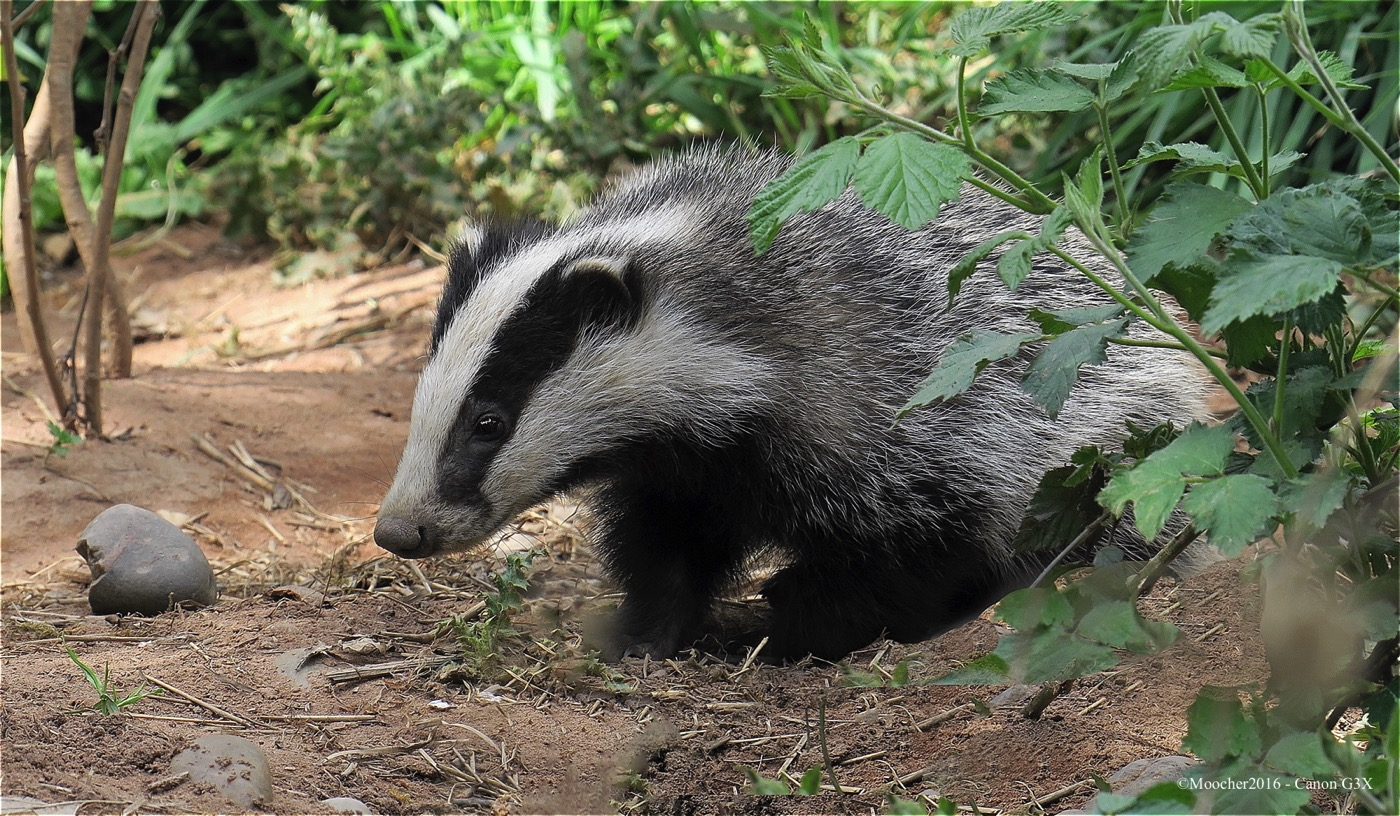 BadgerB02