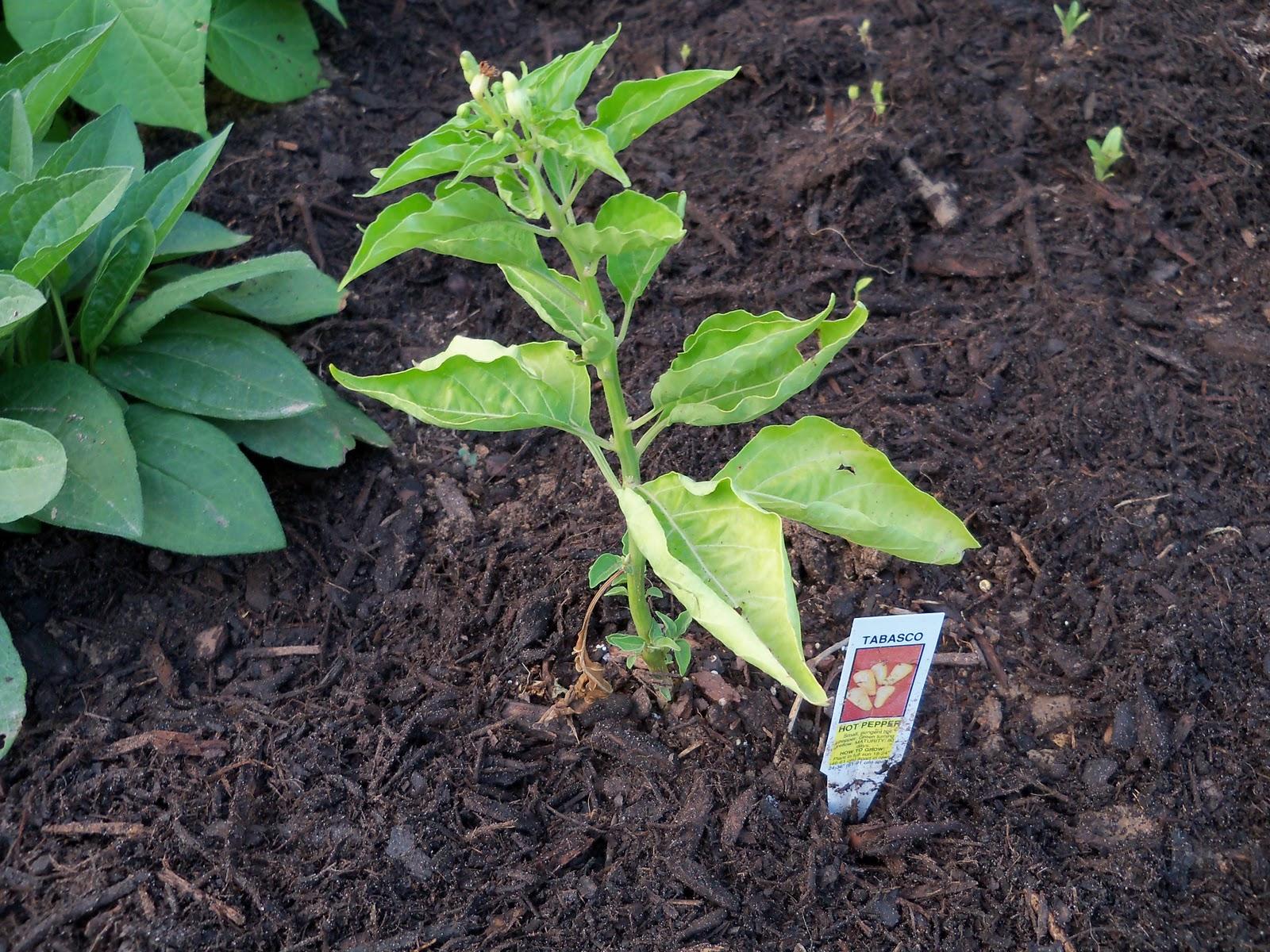 Gardening 2010, Part Two - 101_2003.JPG